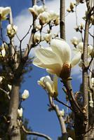 Нажмите на изображение для увеличения Название: Magnolia-1.jpg Просмотров: 0 Размер:70.8 Кб ID:152473